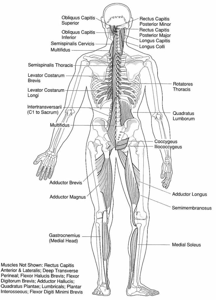 Washington DC acupuncture - how acupuncturists choose acupuncture points - muscles of the bladder meridian