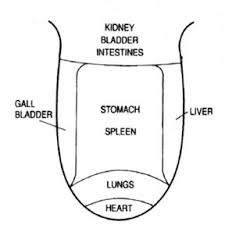 Image depicting how parts of the tongue relate to the organs.