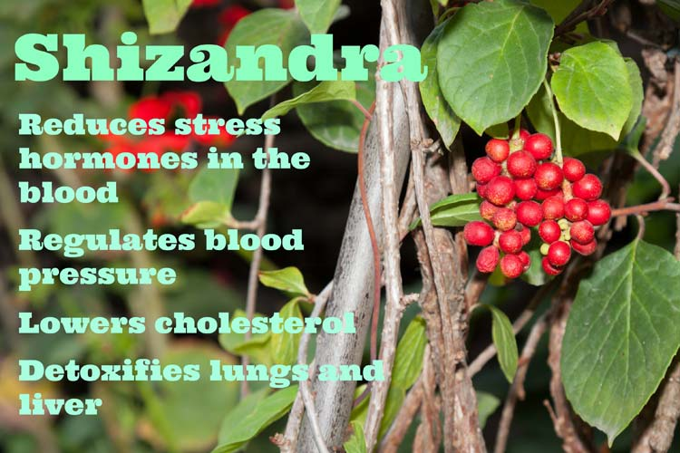 Shizandra helps lower cholesterol and regulate blood pressure