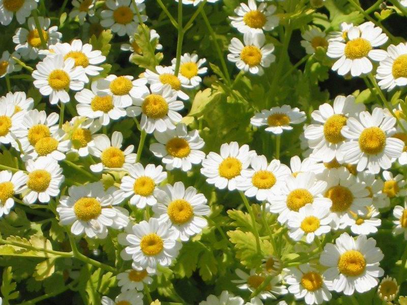 Feverfew medicinal herb - active ingredient in our best Turmeric supplement