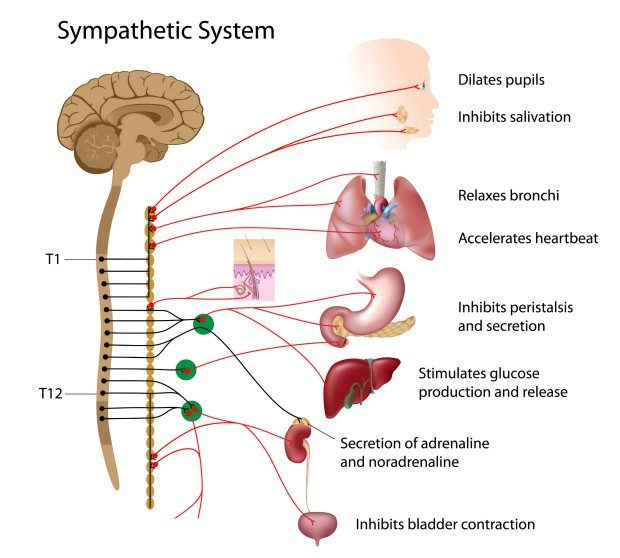 Anatomy of the sympathetic nervous system and response - DC Acupuncture